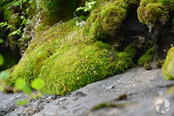 Lush mosses growing near rock.