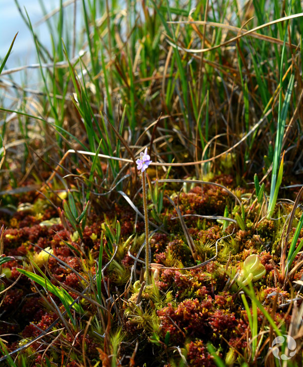 Hairy butterwort growing among other plants near the river.
