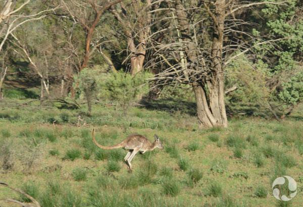 A kangaroo hops through a landscape.