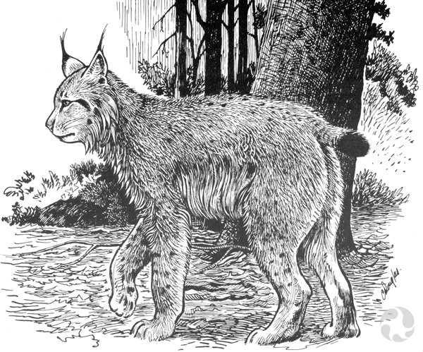 An illustration of a Canada lynx (Lynx canadensis) in a forest.