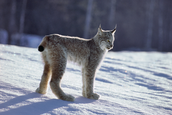 A Canada lynx in the snow.