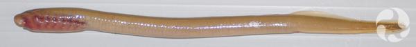 Larva of an American Brook Lamprey.