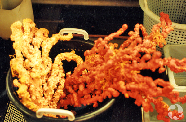 Two specimens of coral in a collecting bucket.