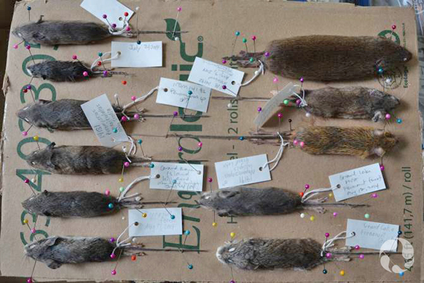 Rodent specimens pinned on cardboard and labeled.