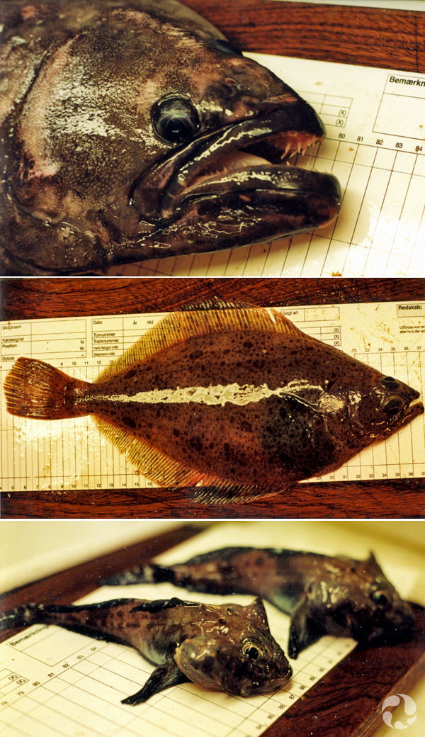 Collage: Four fish, each on a measurement grid for length.
