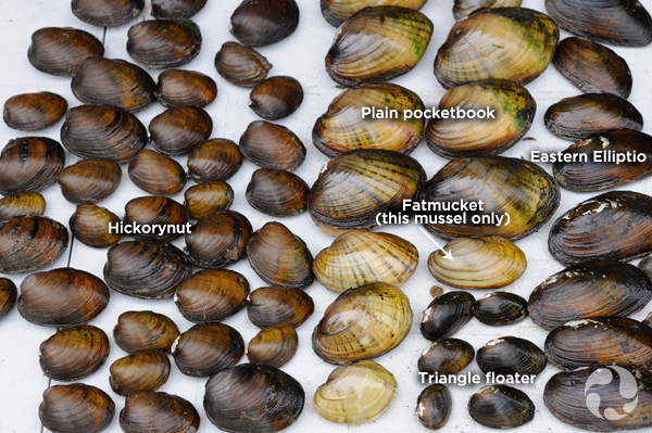 Around sixty mussels of different colours and sizes are arranged on a table.