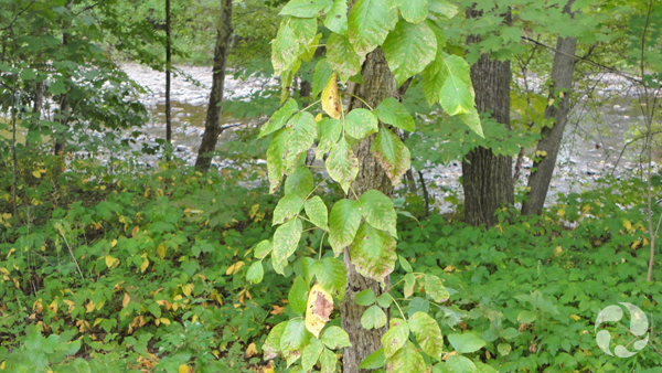 A tree covered with poison ivy.