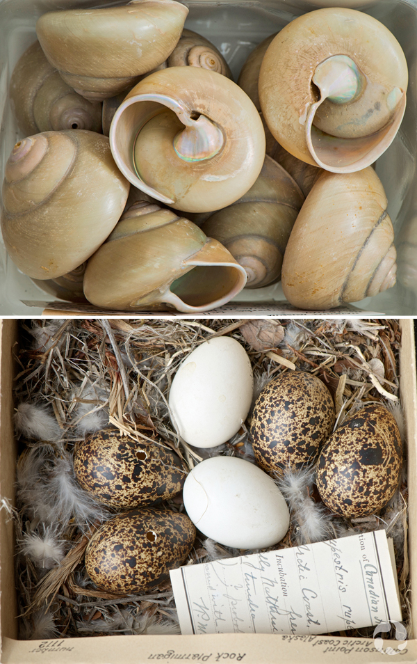 Two images: spiral-shaped shells and eggs of a Rock Ptarmigan.
