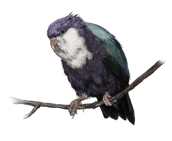 Conquered lorikeet extinct parrot.