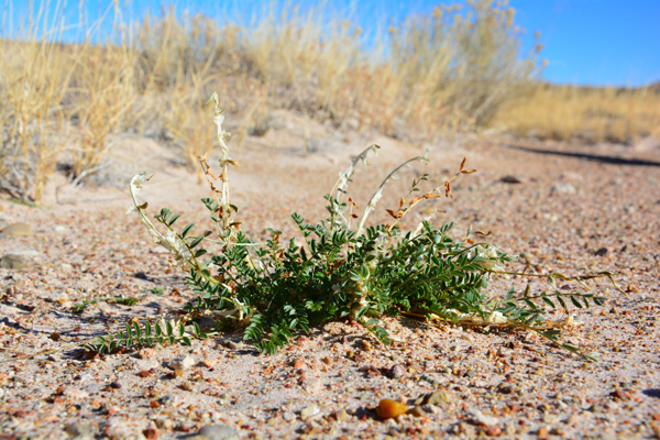 Closeup of a plant from the genus Astragalus.