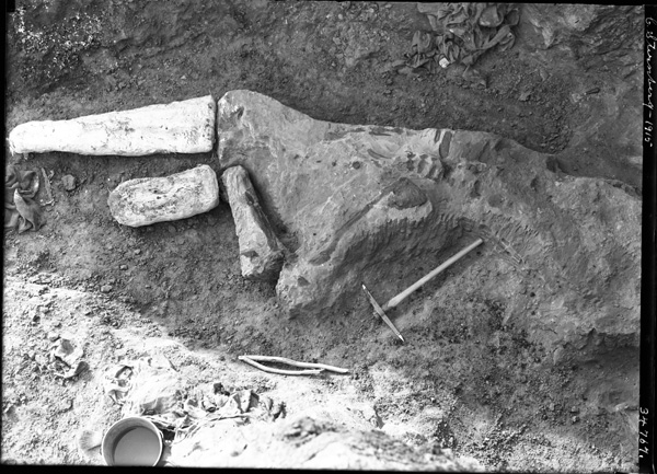 A black-and-white photo of a partially excavated dinosaur fossil.