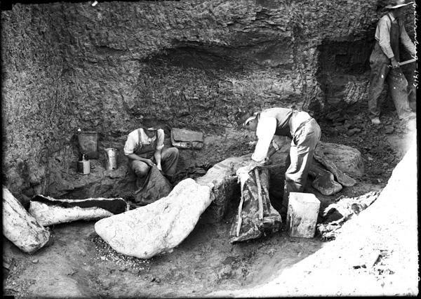 Black-and-white photo showing two men wrapping a fossil in a plaster field jacket while a third digs nearby.