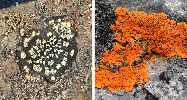 Collage: Lichens growing on rocks.