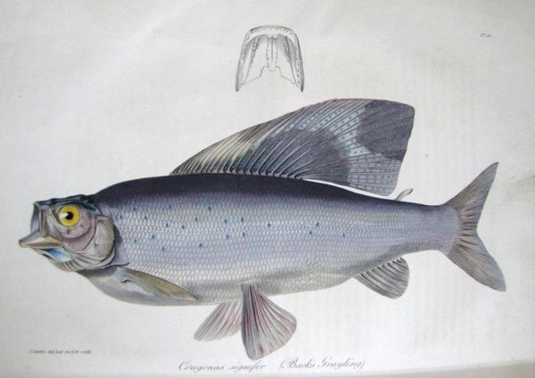 A scientific colour illustration of a fish.