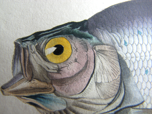 A close-up of the head of the Arctic Grayling.