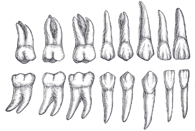 A scientific illustration of human teeth.