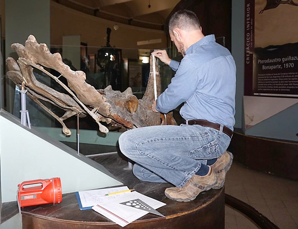 A man perches in an exhibit, measuring a dinosaur skull.