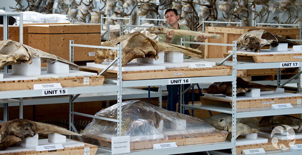 A technician stands behind shelves holding whale skulls.