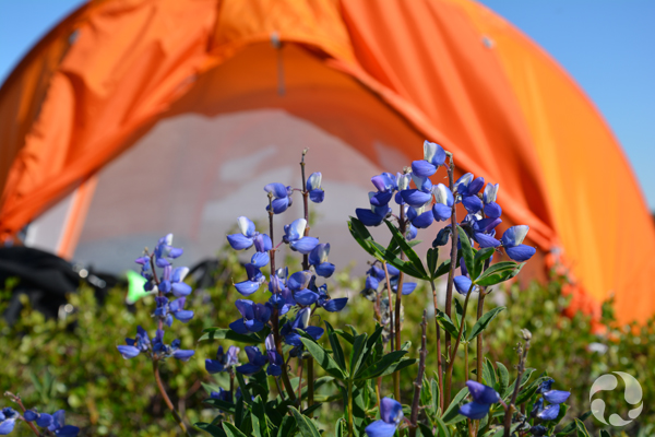 Ground-level view of flowers with tents in the background.