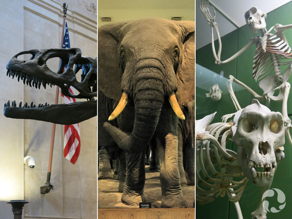 Collage: A mounted dinosaur skull, a mounted elephant, mounted mammal skeletons.