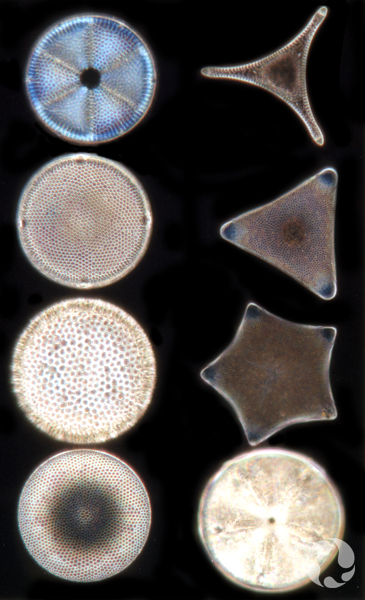 An array of diatoms.
