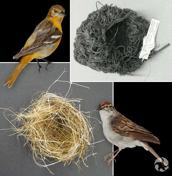 Collage: Two taxidermied bird specimens and two nests.