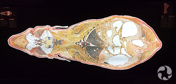 Cross-section view of an elephant.