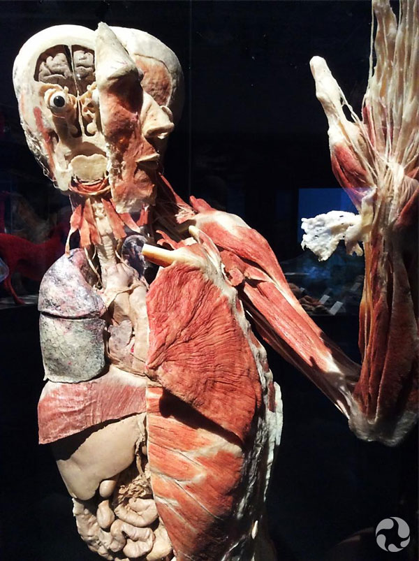 A human body in the Animal Inside Out exhibition.