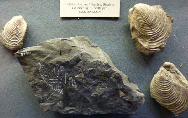 Three mollusc fossils and a leaf fossil.