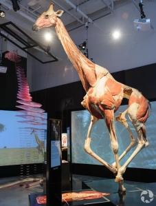 The giraffe specimen in Animal Inside Out.