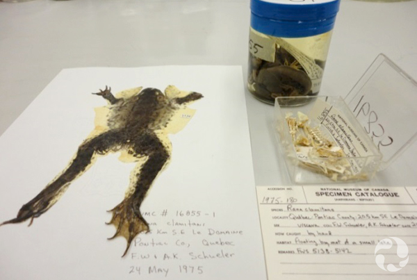 The dried skin, skeleton and jar with internal organs of a green frog.