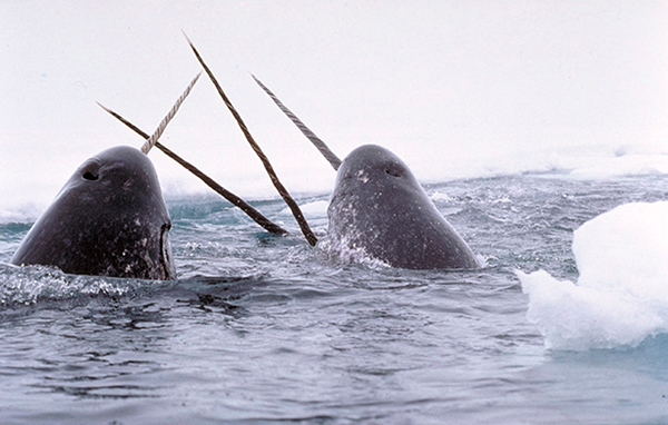 Heads and tusks of several narwhals above the surface of the water.