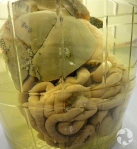 The digestive organs of a river otter in a large glass jar.