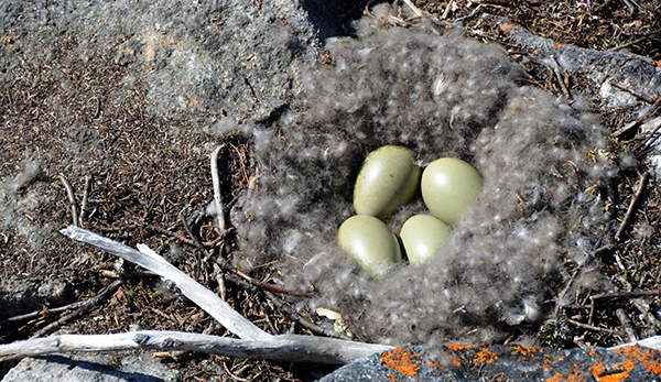 An eider nest with eggs.