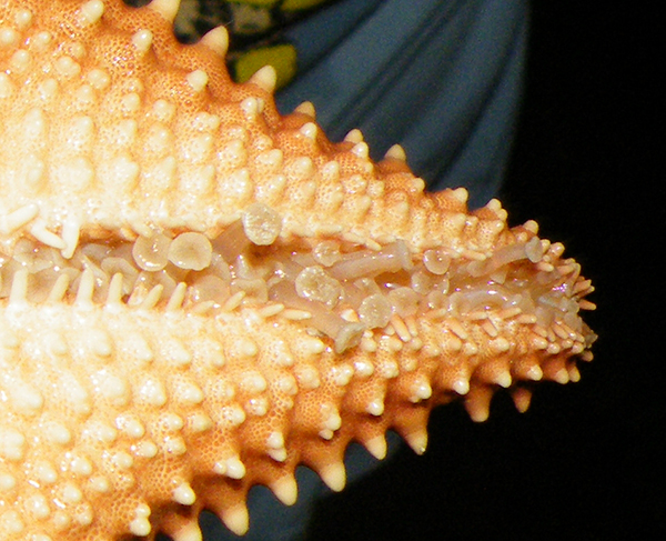 A close-up of a sea star's tube feet.