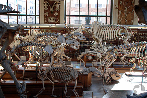 A room full of mounted skeletons.