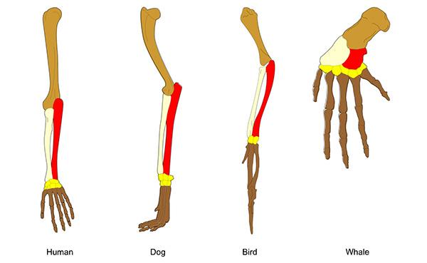 Illustration of the bones in a human arm, dog leg, bird wing, whale flipper.
