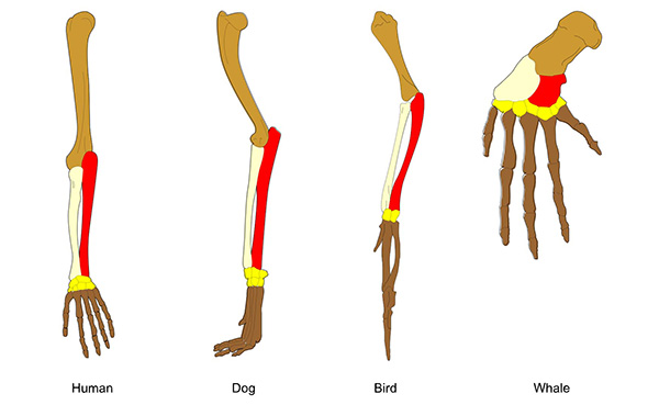 Illustration of the bones in a human arm, dog leg, bird wing, whale flipper.