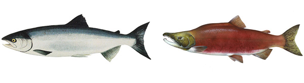 Collage: Drawings of two fishes.