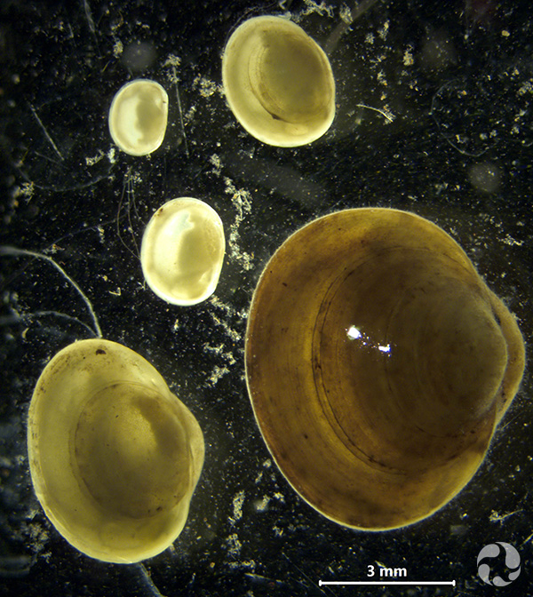 Herrington's fingernail clam (Sphaerium occidentale) at five different ages. Individuals can live up to a few years, overwintering several times during this period.