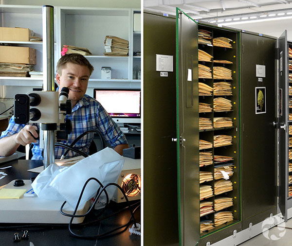 Collage: A man sits at a microscope, an open herbarium cabinet.