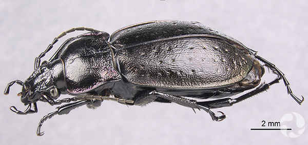 Illustration of a bronze carabid.
