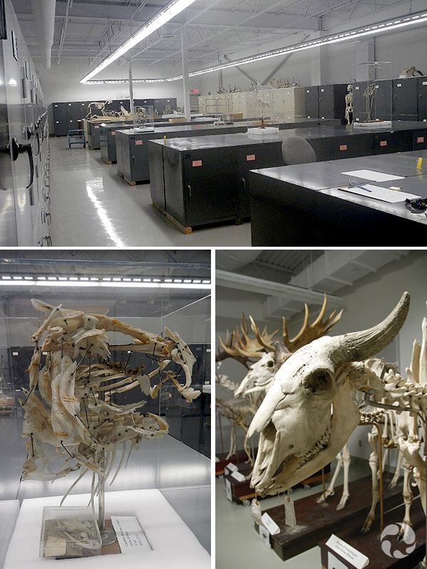 Collage: A room full of metal cabinets, an Atlantic Cod skull, an American bison skull.