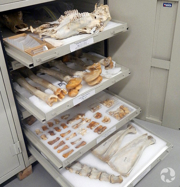 Drawers open in a cabinet displaying bones cushioned on foam.