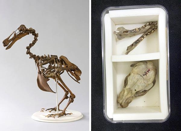 Collage: A mounted Dodo skeleton, a Tasmanian tiger skull in a storage box.