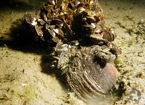 Many zebra mussels cling to a large mussel that is on its side on the river bottom.