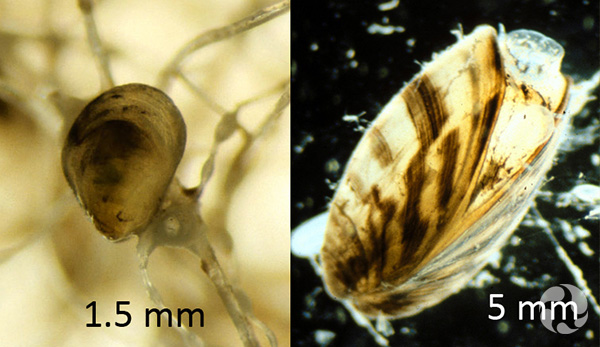 One mussel of 1.5 mm and one of 5 mm.