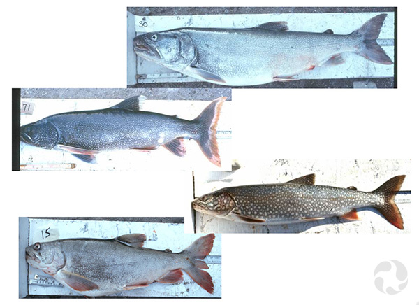 Several specimens of Lake Trout (Salvelinus namaycush).