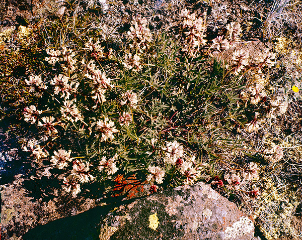 Richardson's milkvetch in bloom (archive slide S78-262).