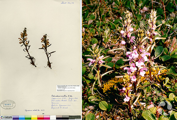 Collage of Arctic lousewort (collection #CAN26547; archive slide S78-303).